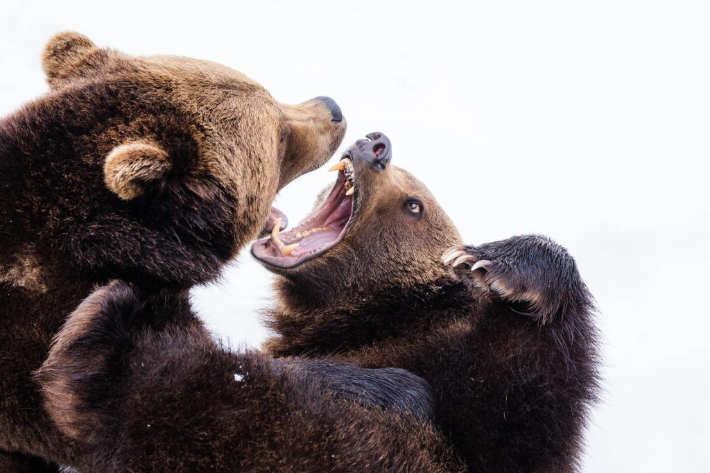 Mother bear fighting with cub